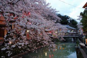 木屋町通りの桜②